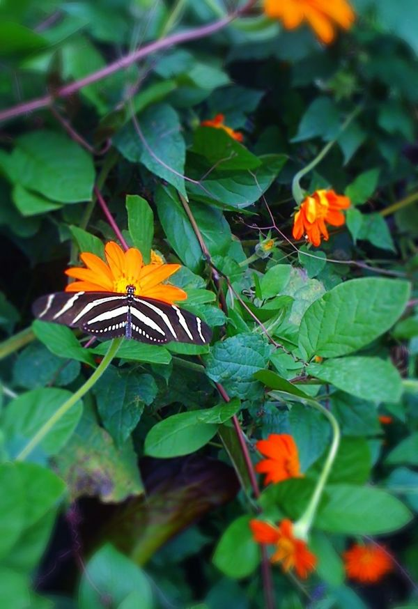 IPhone Black And White Stripes Butterfly Flowers Orange And Yellow Nature Insects  Garden