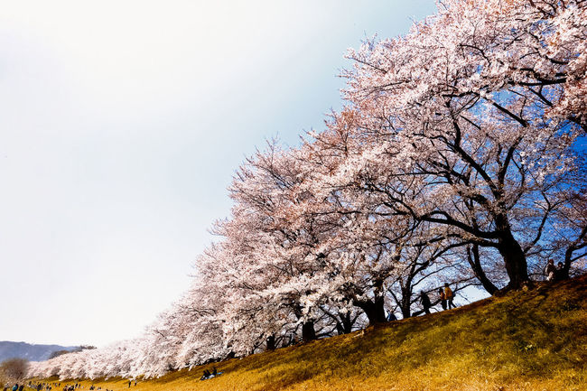 Row Cherry Tree Cherry Blossoms Row Of Cherry Trees Ohanami Kyoto Japan LeicaM9