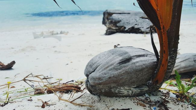 """""""I'm Old, and Young"""" Coconut Tropical Seaside Travel Photography Beach Photography Sea Sand & Sea Palm Trees Exploringmaldives Islandlife Week On Eyeem No People Sunny Showcase July Tropical Climate Open Edit in Th.Kinbidhoo , Maldives"""