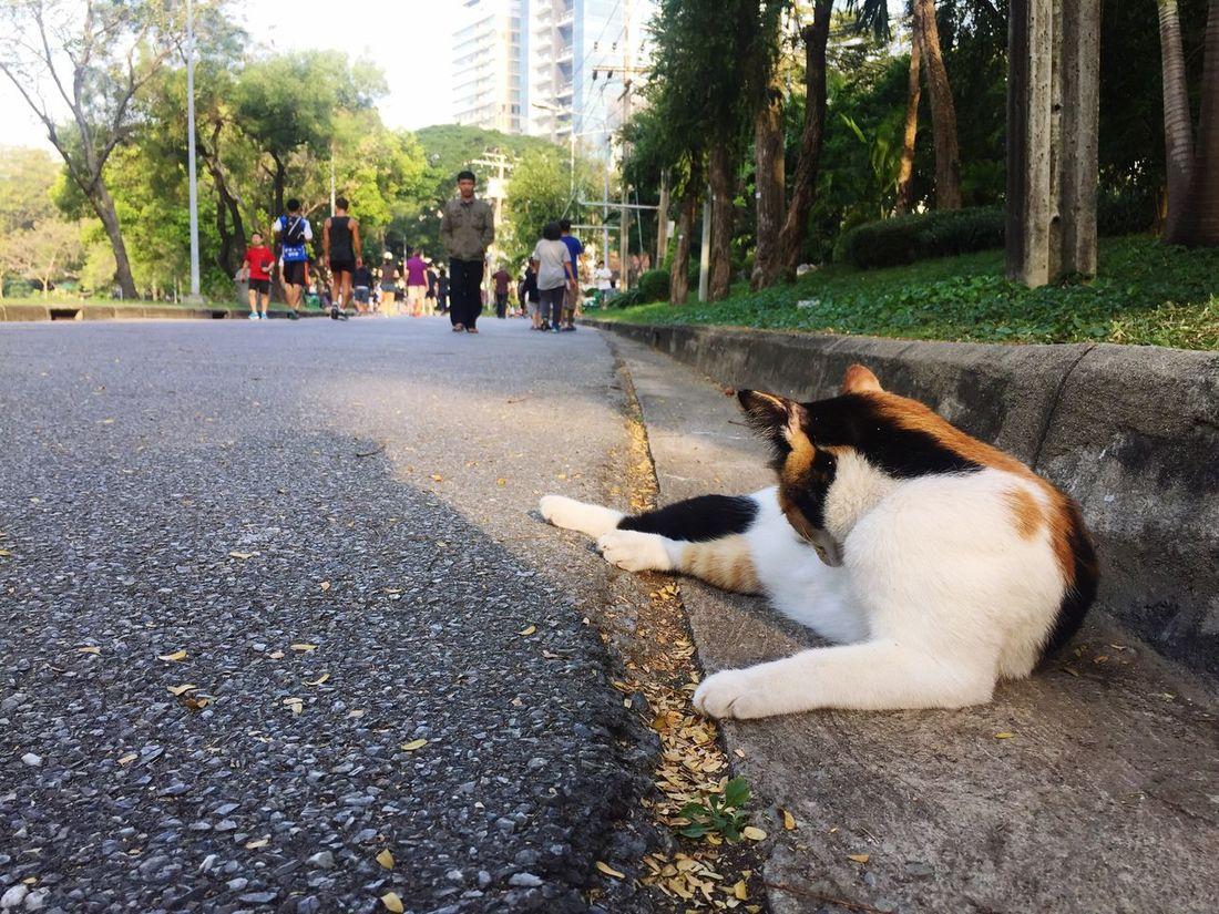 Three color cat Domestic Animals Pets Animal Themes Domestic Cat One Animal Outdoors Lumpini Park Thai Street Cat Relaxation Park Sleepy