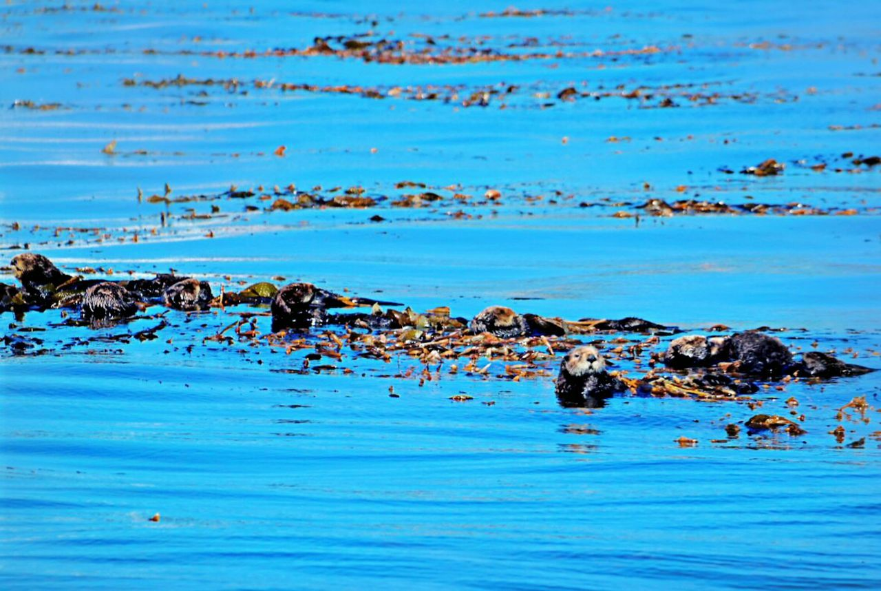 Water Blue Reflection Nature No People Sea Outdoors Day Horizontal Beauty In Nature Otter Otters Marine Life Sea Otter Sea Otters