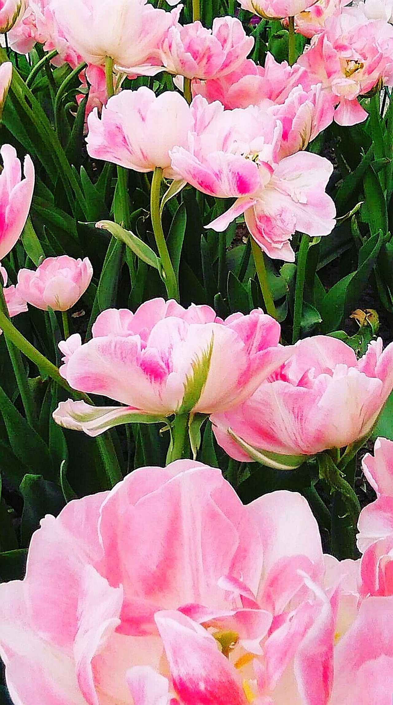 Tulips Pink Tulips Pink Flowers Pink Flower White Pink Green White Pink Green Flower Stems Flower Freshness Close-up Nature Flower Head