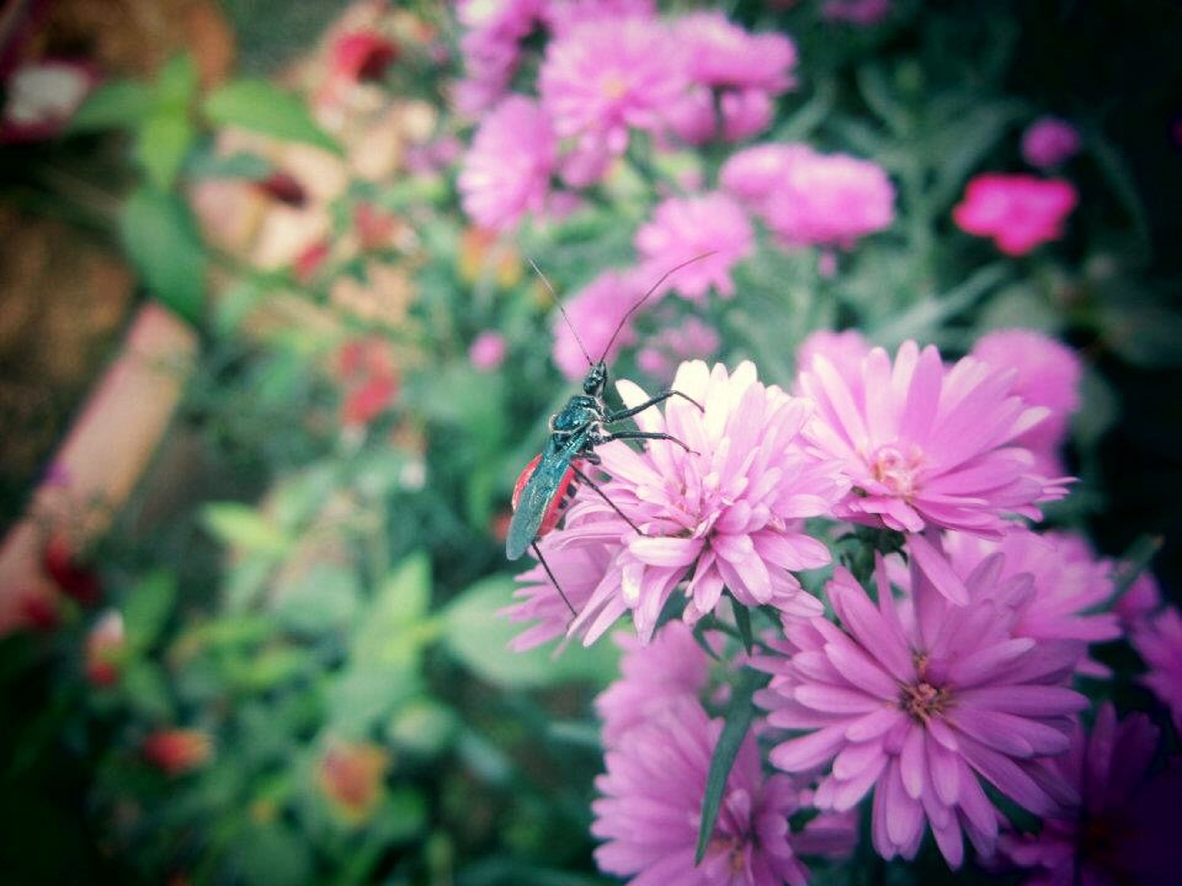 flower, freshness, petal, fragility, growth, pink color, beauty in nature, flower head, insect, one animal, plant, focus on foreground, nature, blooming, animal themes, close-up, animals in the wild, wildlife, in bloom, outdoors