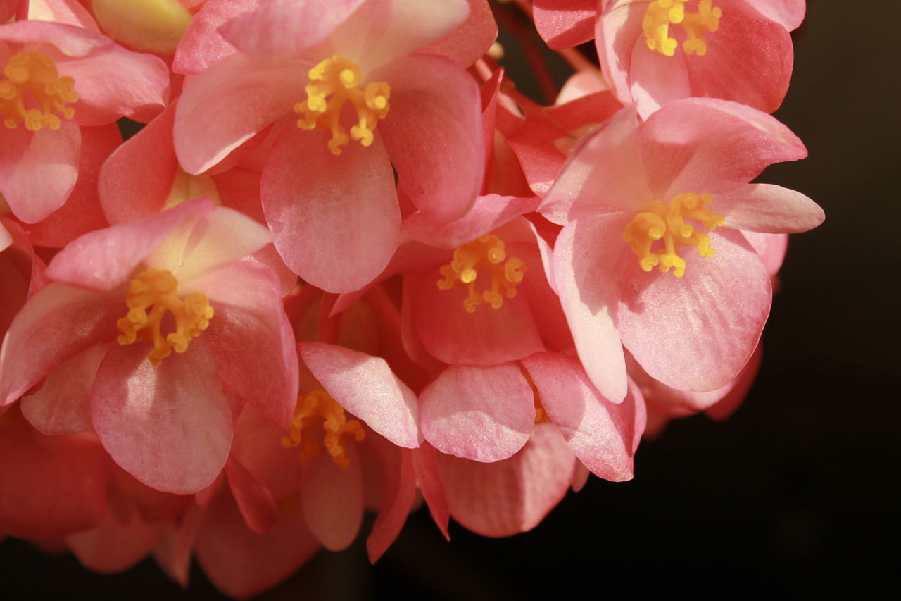 Close-Up Of Pink Chaenomeles