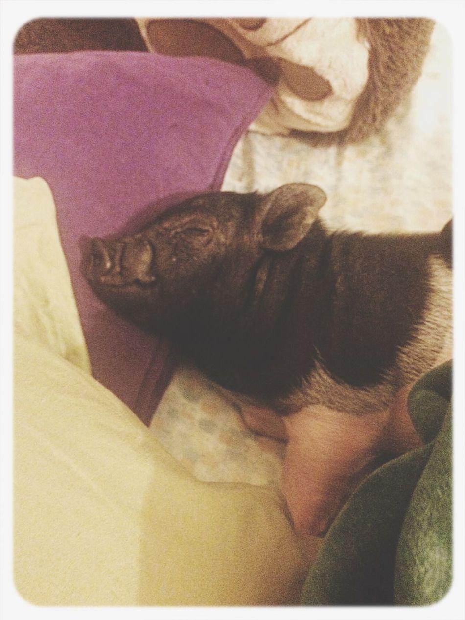 Piggy naps :) BabyPig Potbelly Pig Cute Naps
