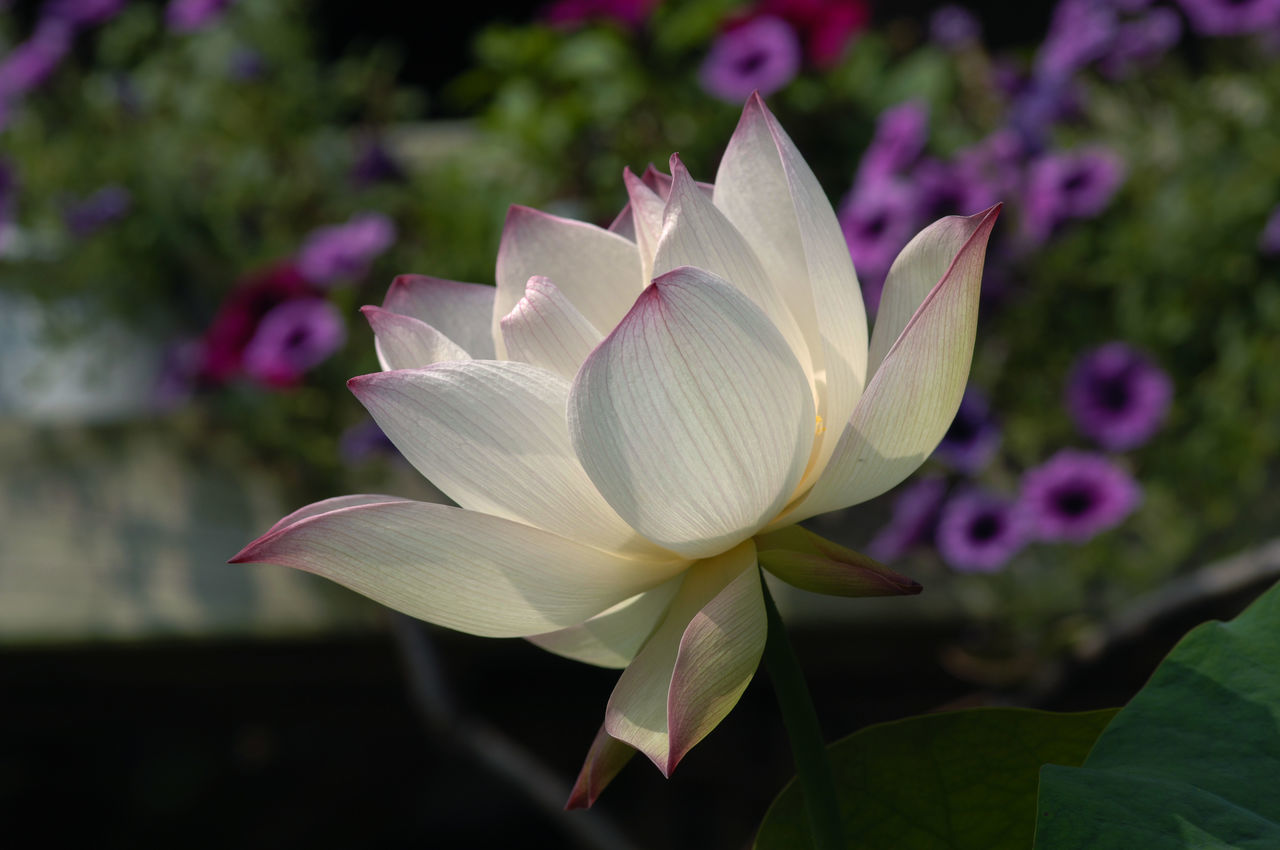 flower, petal, beauty in nature, nature, fragility, flower head, freshness, growth, leaf, plant, blooming, close-up, no people, focus on foreground, outdoors, day, lotus, lotus water lily