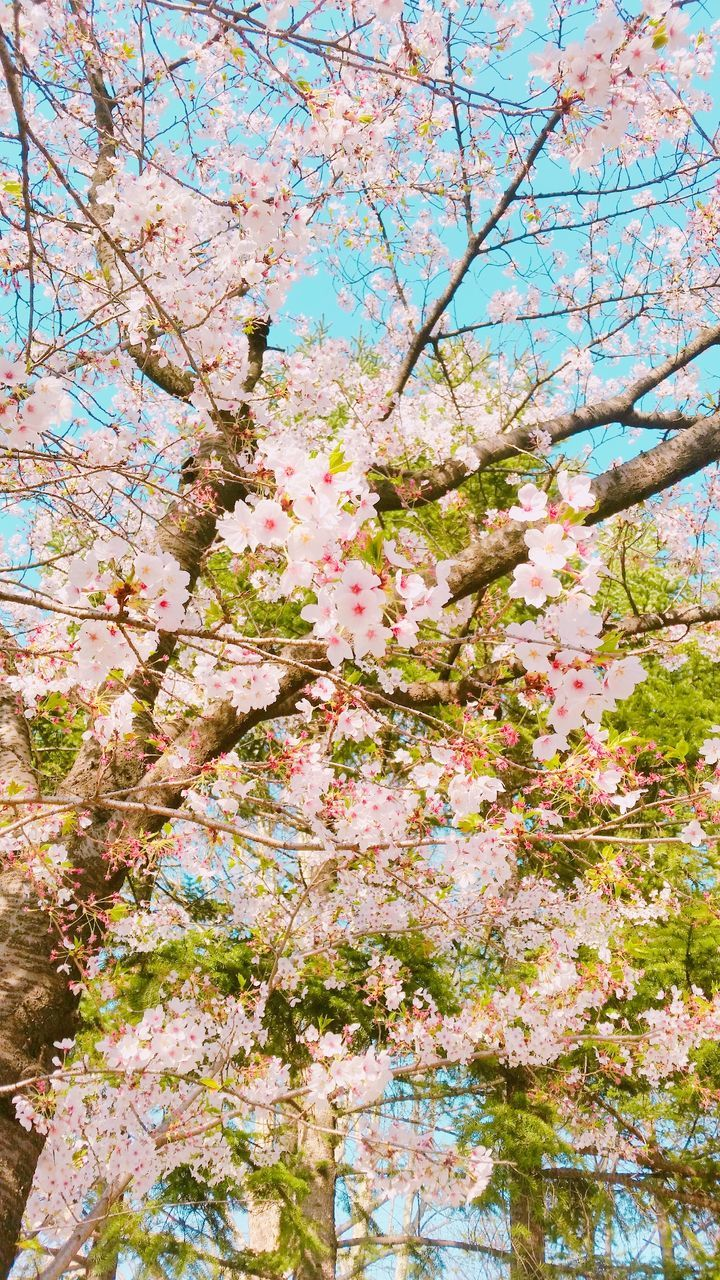 flower, blossom, tree, springtime, beauty in nature, branch, cherry blossom, fragility, nature, freshness, growth, cherry tree, low angle view, orchard, apple blossom, pink color, no people, day, botany, outdoors, tranquility, scenics, close-up, sky, flower head