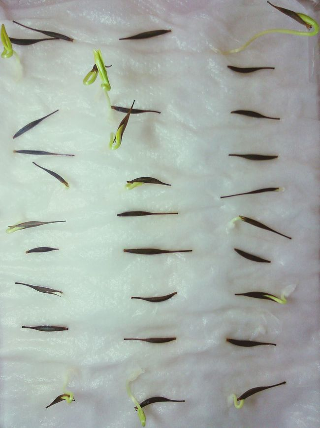Capture The Moment Seeds Cosmos Germination Cotyledon Sony Xperia SP