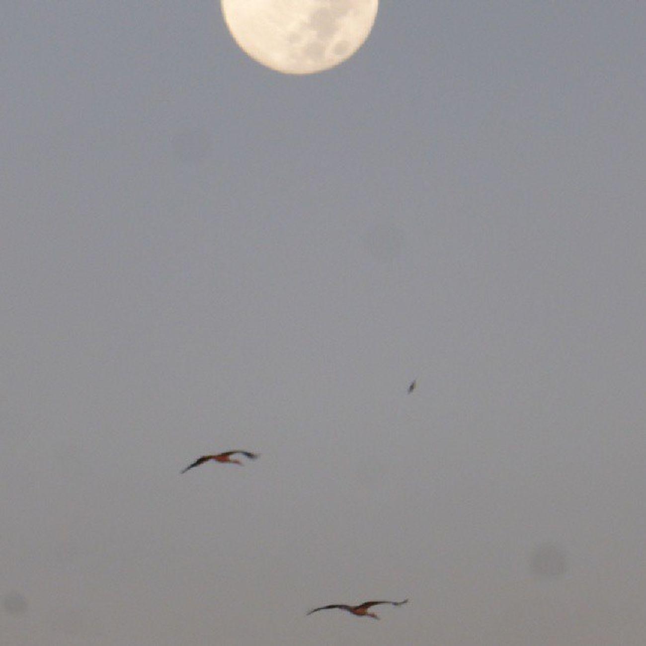 Sorpresa, cigüeñas por los cielos zaragozanos. Skylovers Moon Lunalunera Bird Zaragoza