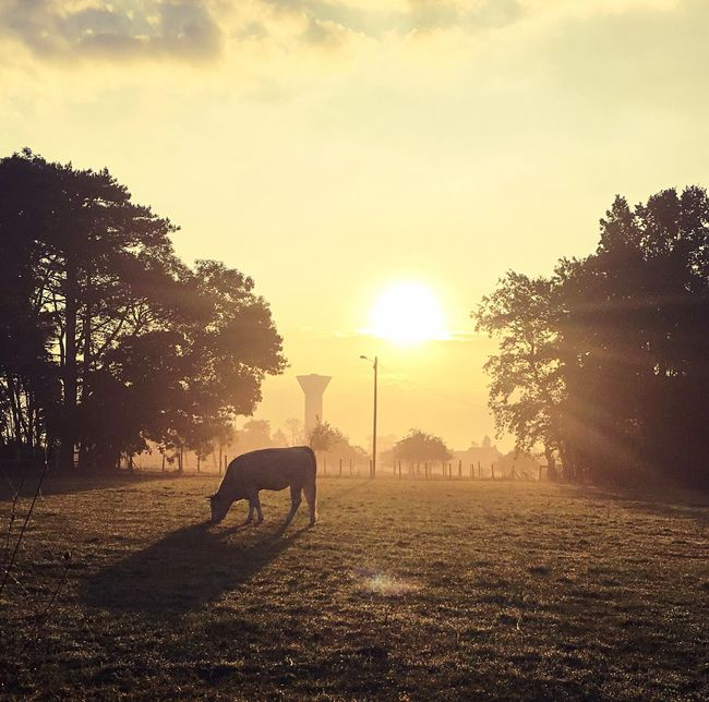 Early Morning Animal Themes Cow Domestic Animals Sun Herbivorous Silhouette Tranquil Scene Field Tranquility Sunrise