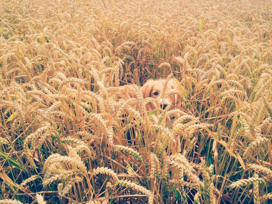 Dog Field Hidden Wheat Golden Gold Animal Summer Sun Camouflage HEAD Hide Landscape Yellow Shiny Sunny Love Doglover Amazing IPhone Photography Good Days  Nature Wood #walk