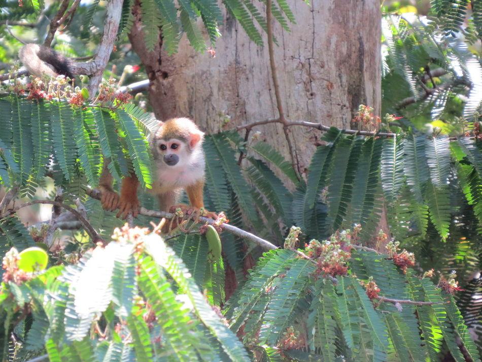 Amazon Amazon Life Amazon Monkey Amazonas Animal Themes Animals In The Wild Beauty In Nature Brazil Life On The Amazon Monkey Nature At Its Best Nature Up Close Travel The World Wildlife