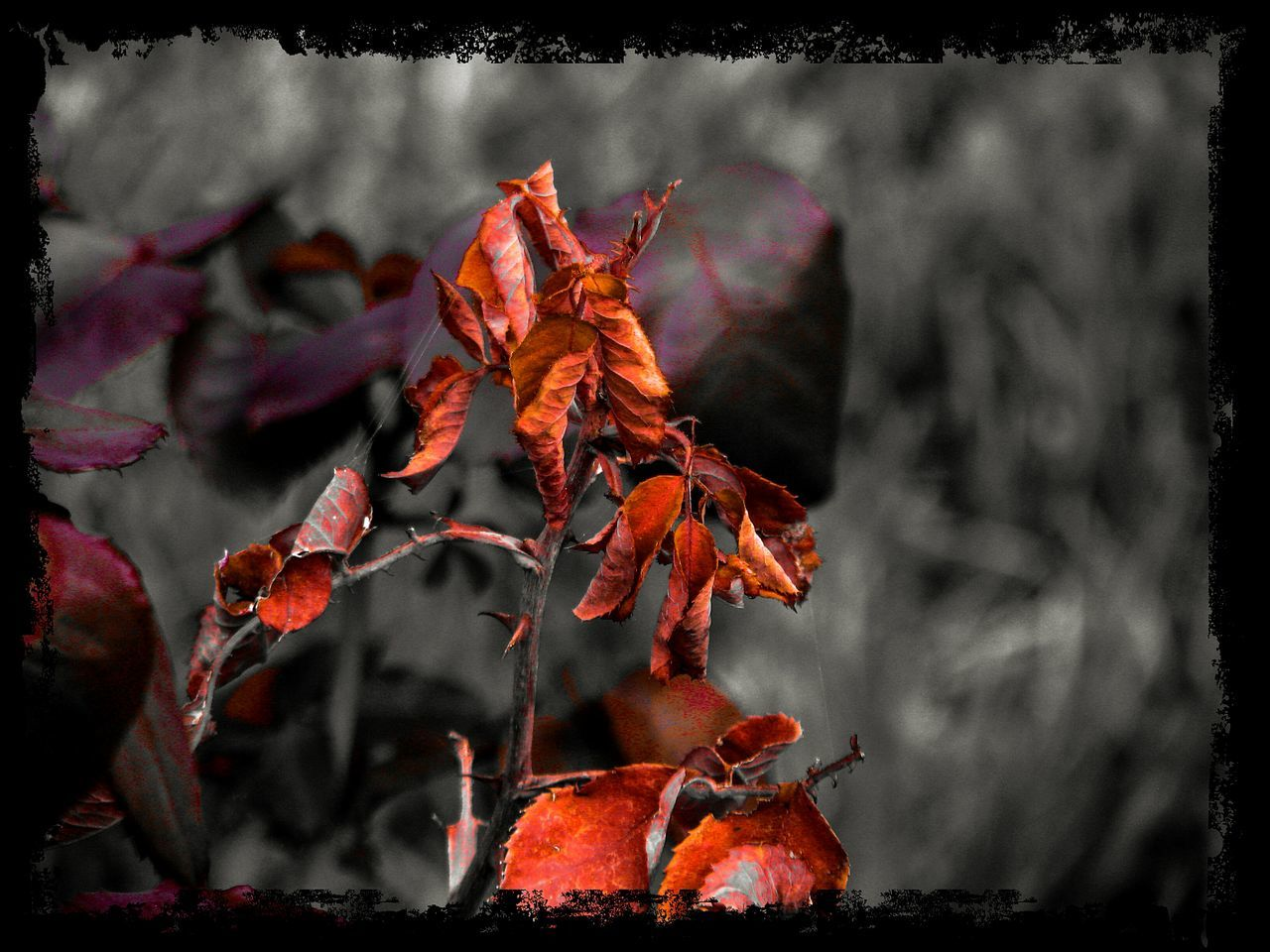 Red Leaves Leaves Carmine Nature Beauty In Nature Close-up No People Art Is Everywhere Backgrounds Focus On Foreground Red Red And Black TCPM