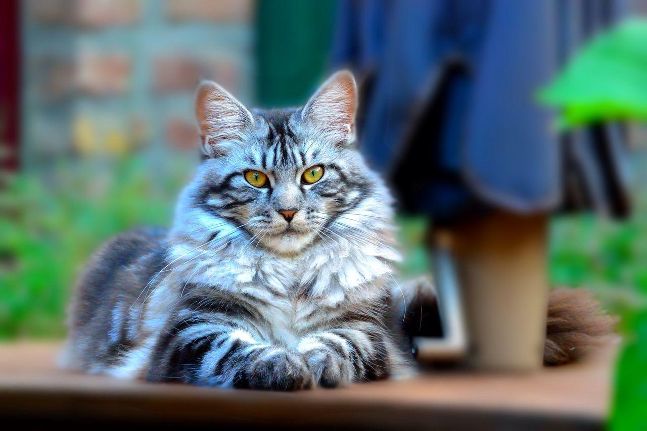 Cat Animals Maine Coon