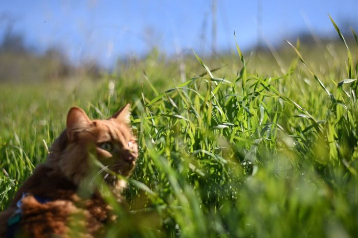 Grass Pets Outdoors Orange Cat Kitty Catslife Close-up Focus On Foreground Nature Day Kitty!  Domestic Animals Animal Themes One Animal Cats Feline Animal Wildlife Cat Kitty Cat Domestic Cat Grass Beauty In Nature Nature Animal Catlover