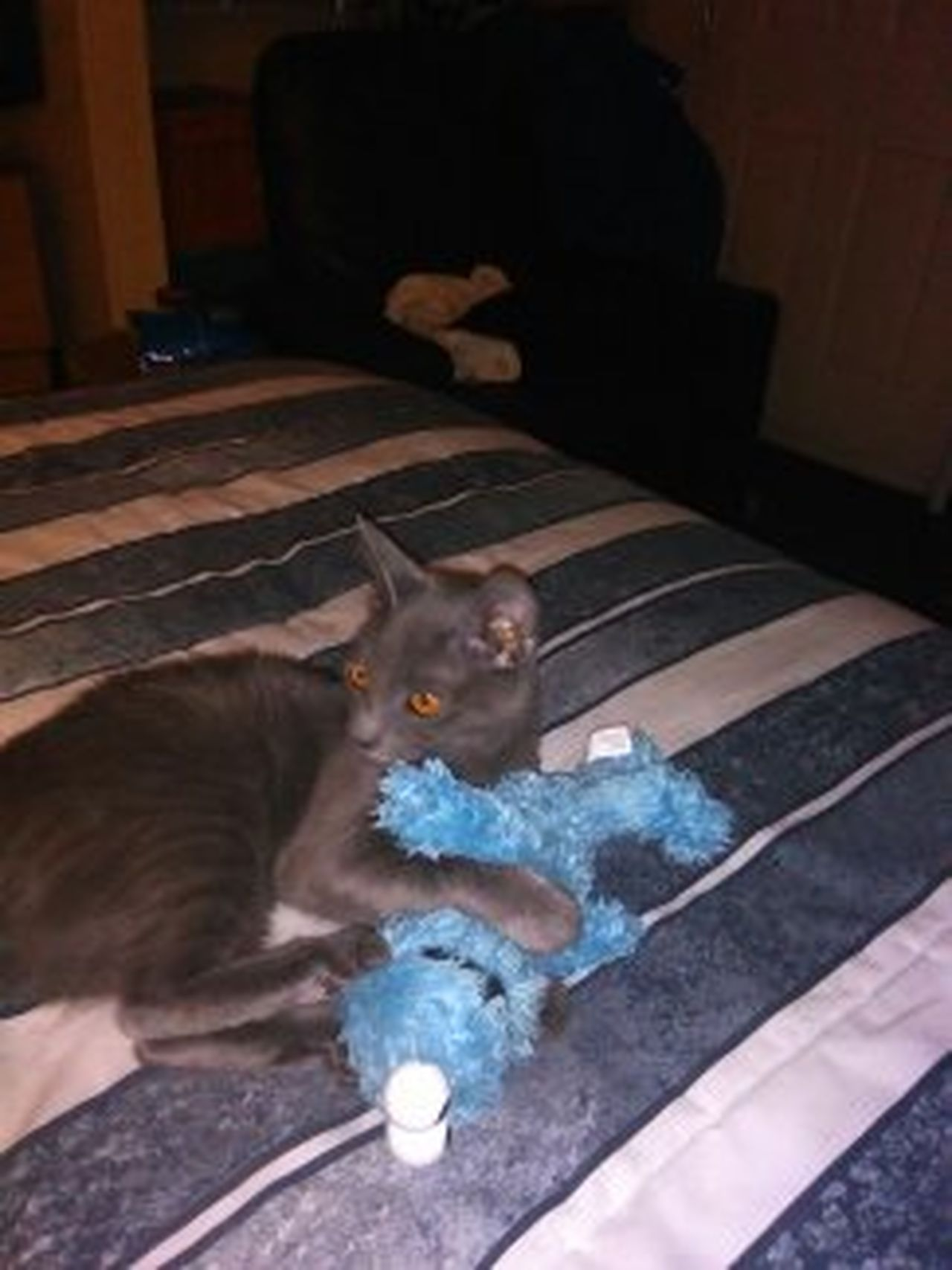 Cat Photography Domestic Cat Feline Domestic Animals Animal Cat Toy Cookie Monster.  Play
