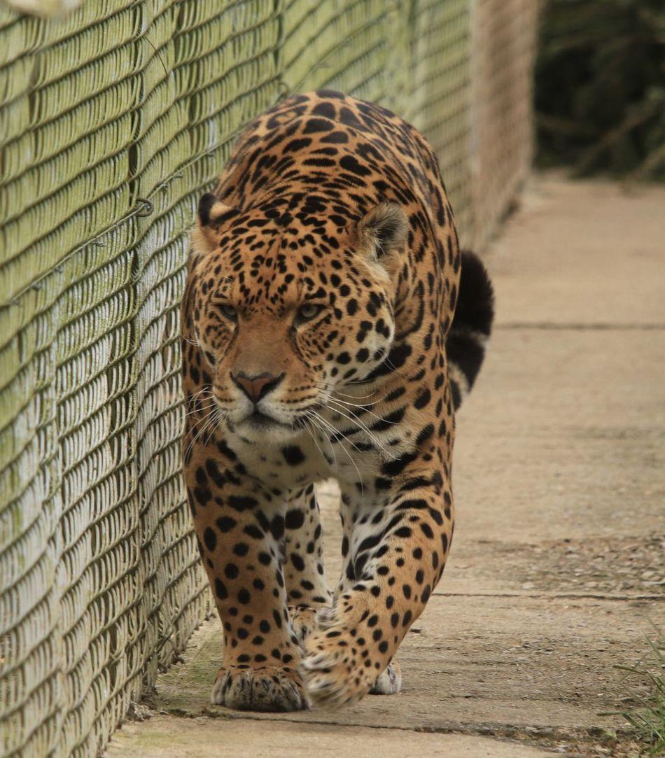 Beautiful stock photos of jaguar, Alert, Alertness, Animal Markings, Animal Themes
