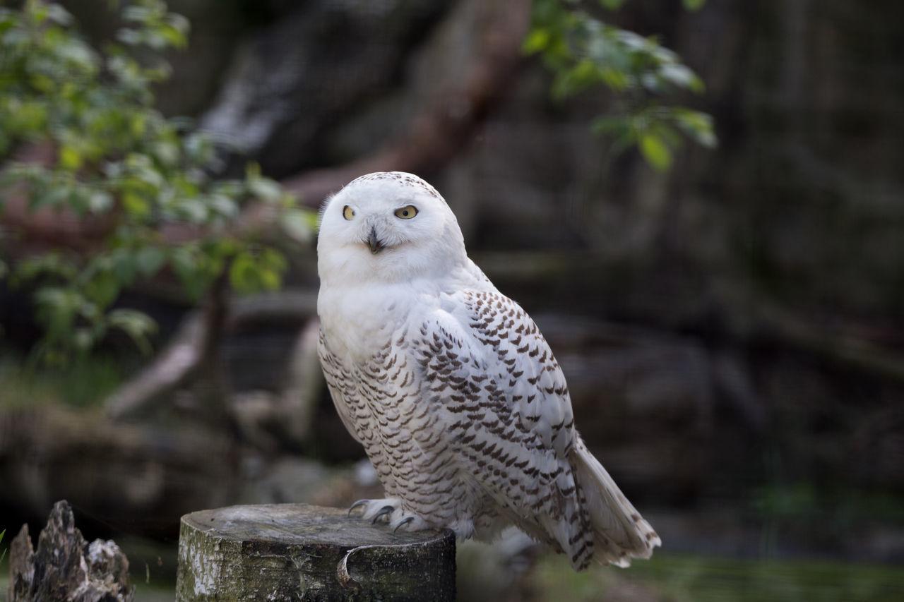 Beautiful stock photos of owl, Animal Themes, Animals In The Wild, Bird, Bird Of Prey