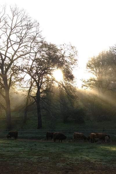California Cow Lake County, Ca Landscape Light Majestic Nature Outdoors Ranch Sky Sunset Tranquil Scene Tree