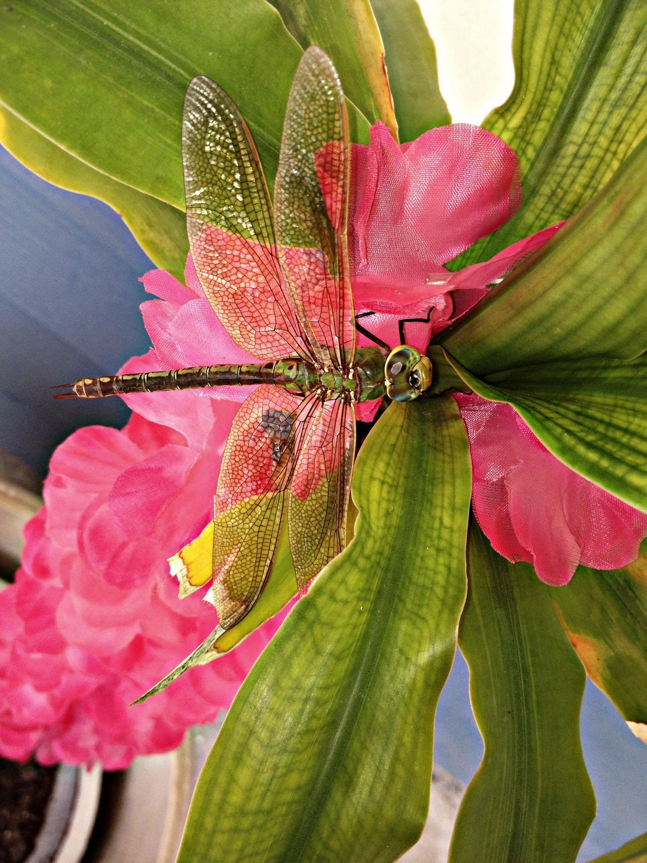 Dragonfly Pink No Edit/no Filter Hanging Out