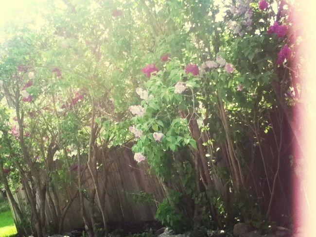 Beautiful Canadian lilac trees <3