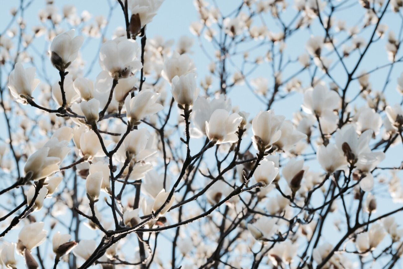 Beautiful stock photos of magnolie, Beauty In Nature, Blooming, Branch, Day