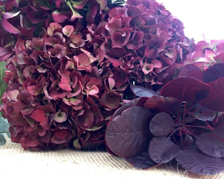 Hydrangea heads - great flowers for Christmas floral arrangements. Christmas Christmas Decorations Flowers,Plants & Garden Flower Arrangement