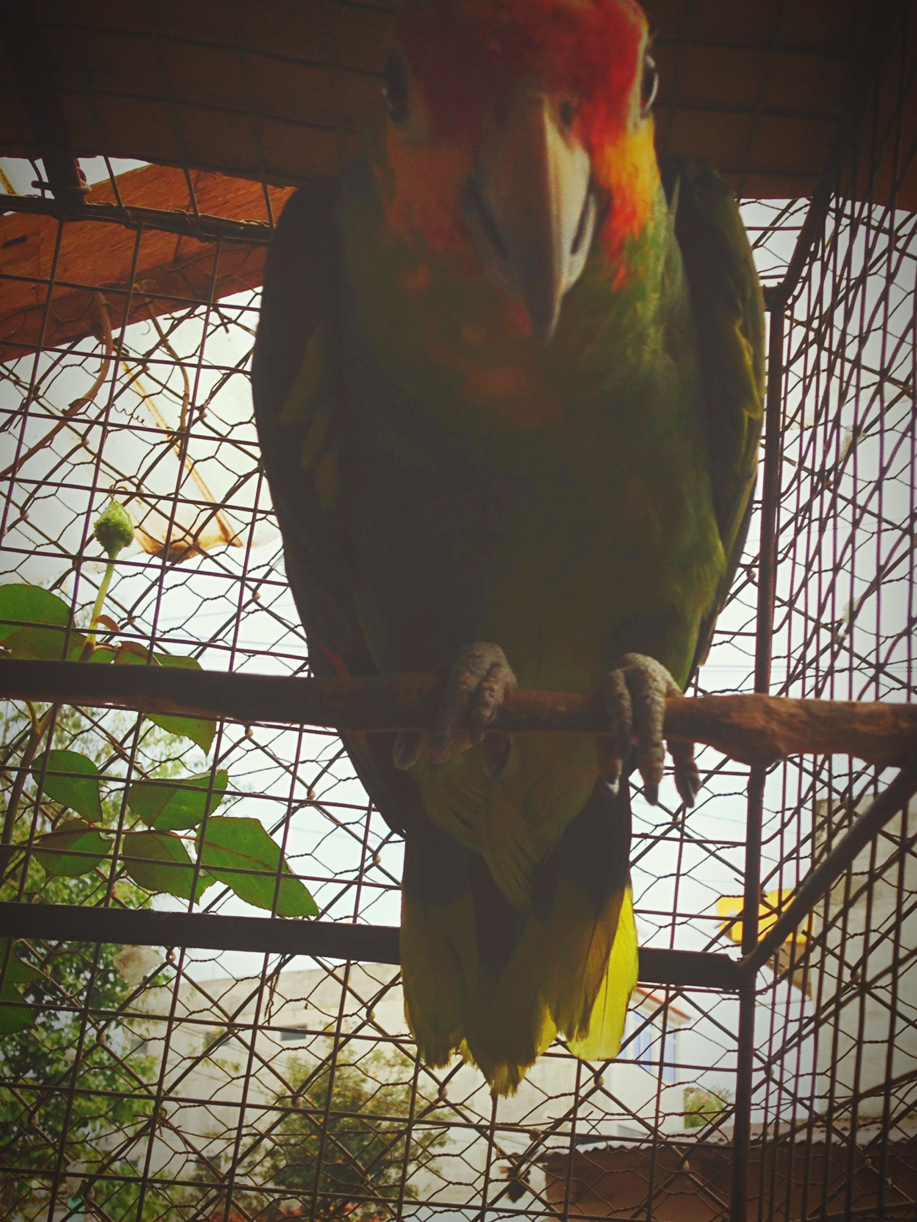 animal themes, one animal, wildlife, animals in the wild, indoors, animals in captivity, close-up, low angle view, bird, cage, zoo, zoology, perching, parrot, mammal, animal behavior, day, avian, animal, green color, no people