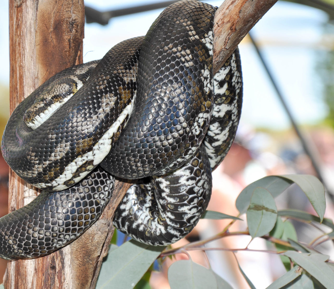 Large python coiled around tree branch in Coogee, Western Australia. Animal Animal Themes Animal Wildlife Animals In The Wild Brown Close-up Coiled Cream Curled Up Day Design Glossy Large Nature No People One Animal Outdoors Pattern Python Reptile Scales Skin Textured  Tree Wildlife