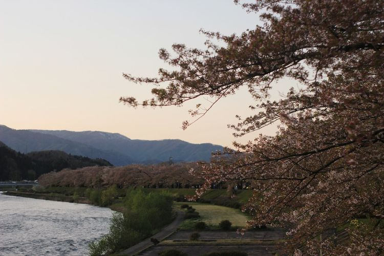 Tree Mountain Nature Outdoors Sky Beauty In Nature Landscape Sunset Scenics Day Clear Sky Traveling Travel Sunlight Japan Beautiful Places Travel Destinations Low Angle View Travel Photography Tohoku Kakunodate Cherry Cherry Blossoming Hanami