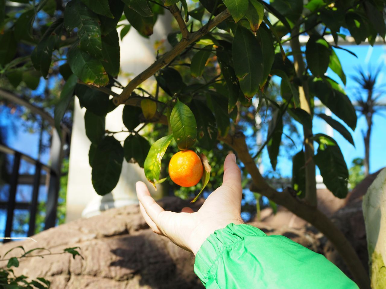 Fruit Human Hand Citrus Fruit Growth Food And Drink Freshness Tree Food Orange - Fruit Leaf Juicy Fruit Tree Orange Tree Picking Agriculture Branch Missouri Botanical Garden Blooming