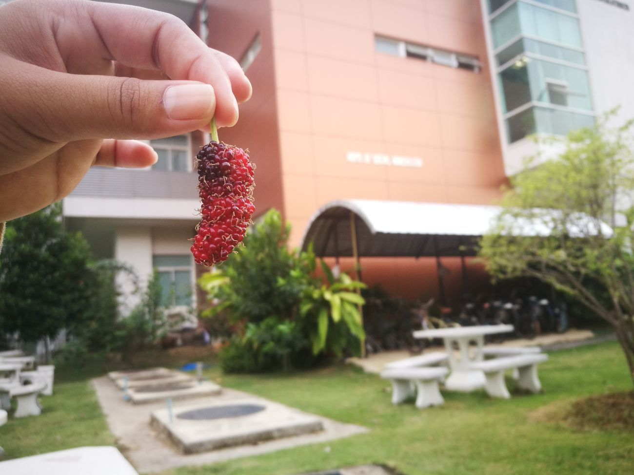ลูกหม่อน or Mulberry