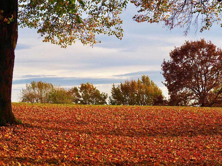 Autumn Goldautumn Autumn Colors Autumn Leaves Lastsunday Colors Cold Temperature Autumn Collection Tree Nature Beauty In Nature Autumn Leafs EyeEmNewHere