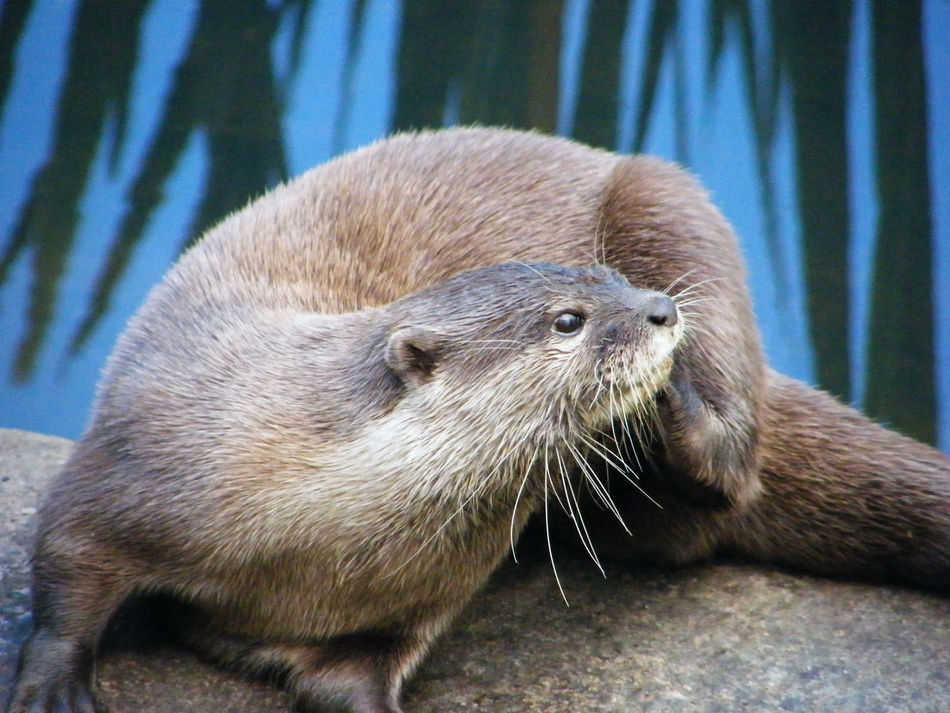 Animal Themes Animal Wildlife Animals In The Wild Close-up Day Mammal Nature No People One Animal Otter Otters Outdoors