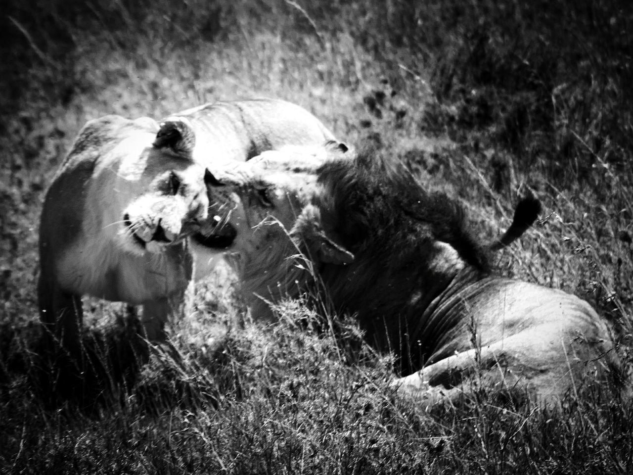 Grass Animal Themes No People Mammal Nature Outdoors Serengeti National Park Tanzania Safari Animals Animals In The Wild Animal Wildlife Lion Love