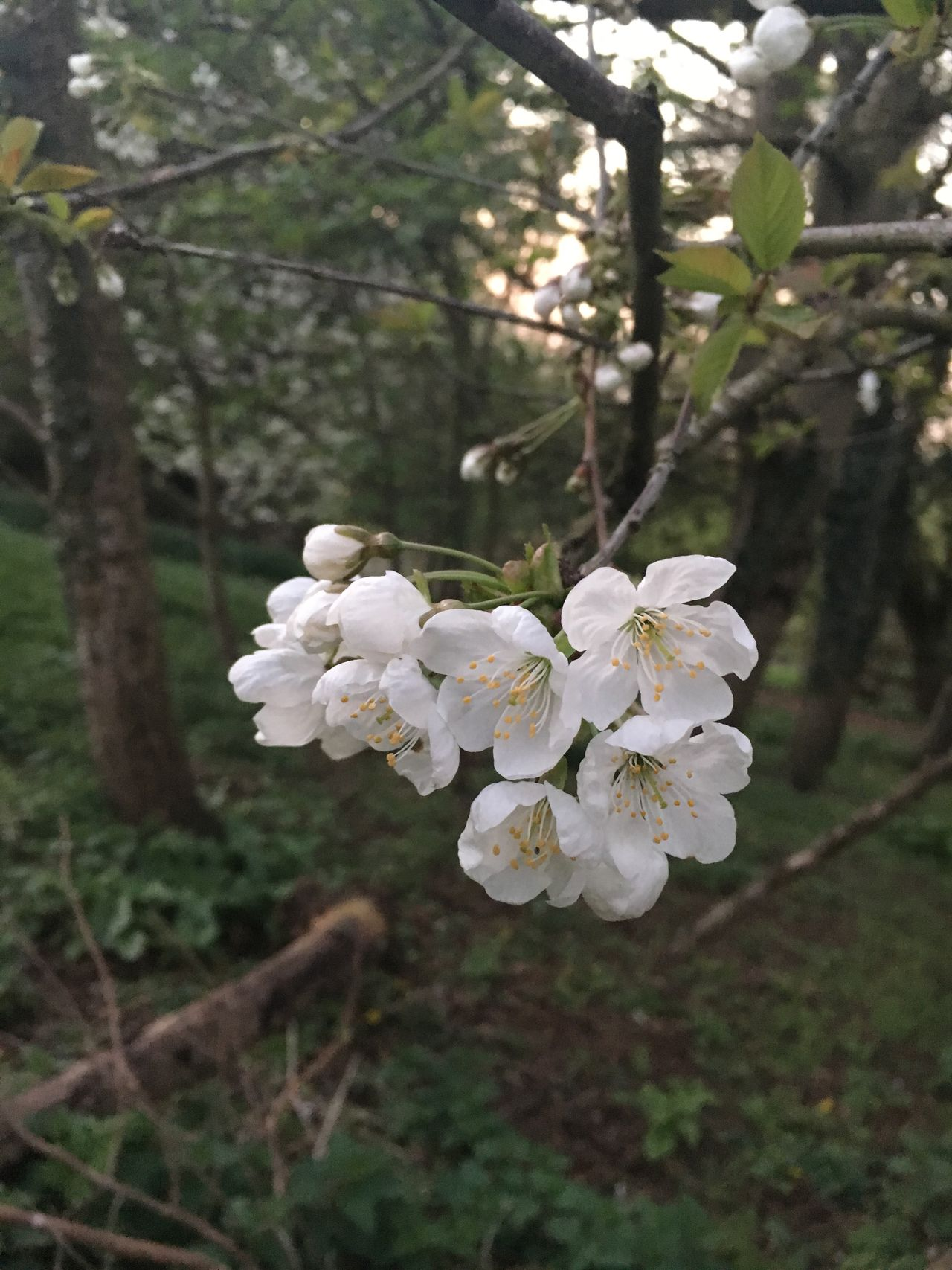 White Color Flower Growth Nature Tree Beauty In Nature Freshness Fragility Petal Close-up Blossom Springtime Branch Outdoors Day Flower Head
