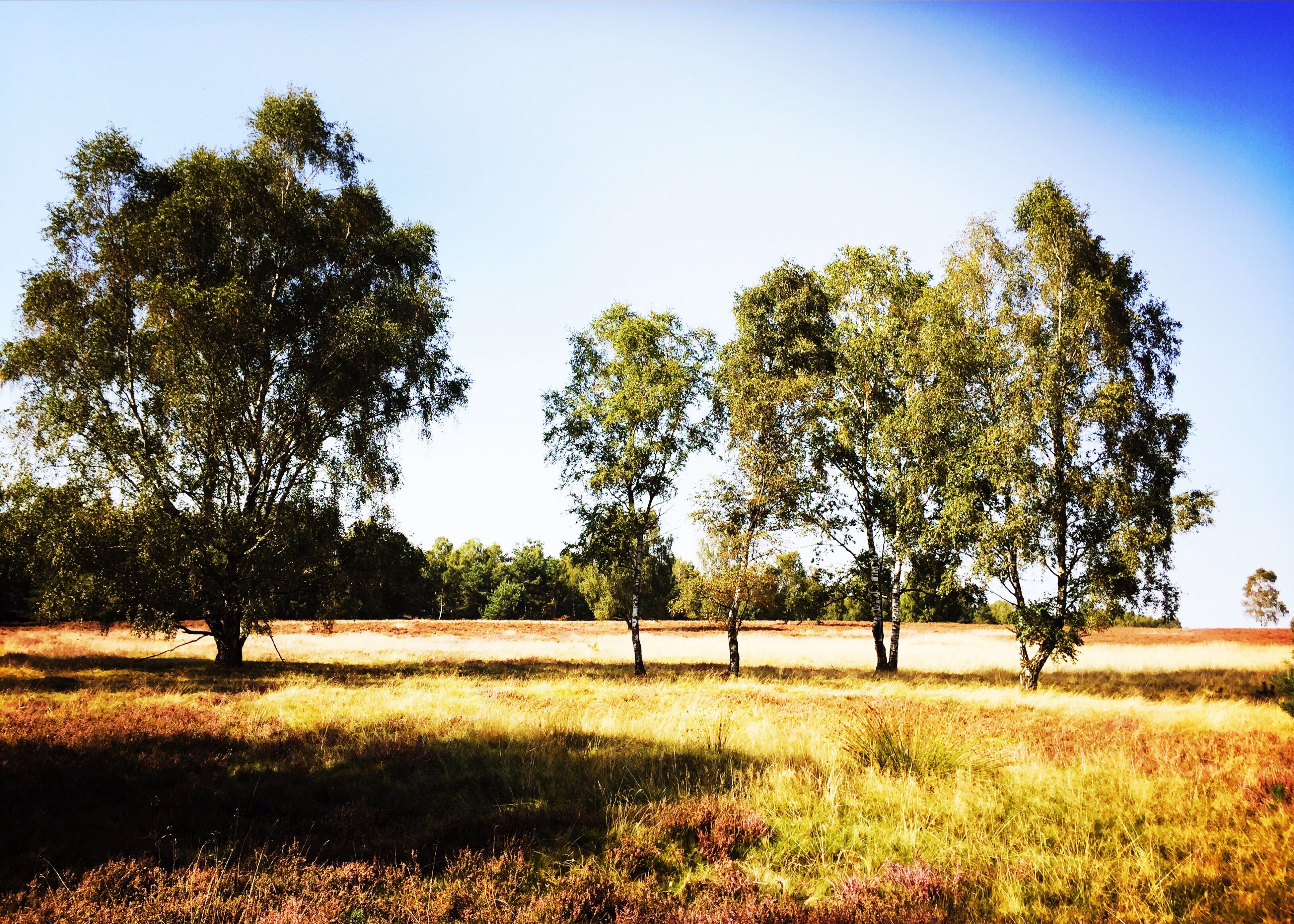 tree, field, tranquil scene, growth, tranquility, scenics, landscape, grass, beauty in nature, clear sky, nature, branch, blue, agriculture, grassy, green color, day, rural scene, solitude, remote, outdoors, sky, farm, single tree, non-urban scene, no people, countryside, cultivated land, growing