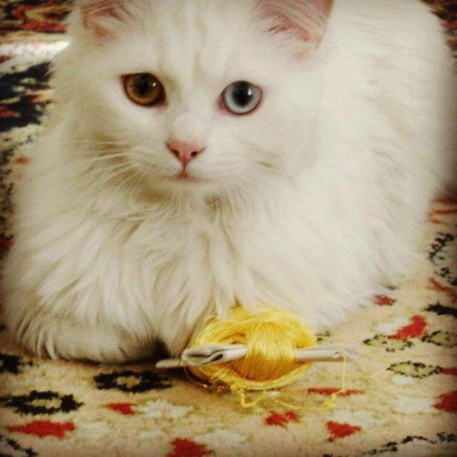 Böyle tüylerim bi güzel olsun bi balli olayım senin de tüysüz hicbir seyin kalmasin evde Maya Mayukhan Kedi Cat benimkedim candostu caniçi