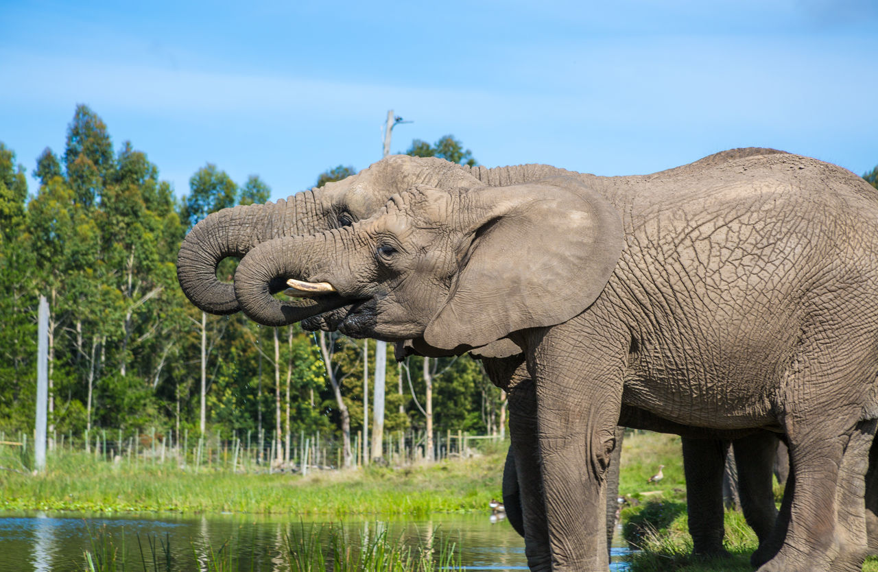 African Elephant Animal Body Part Animal Themes Animal Trunk Animal Wildlife Animals In The Wild Beauty In Nature Day Elephant Grass Nature No People Outdoors Safari Animals Sky Tree Tusk