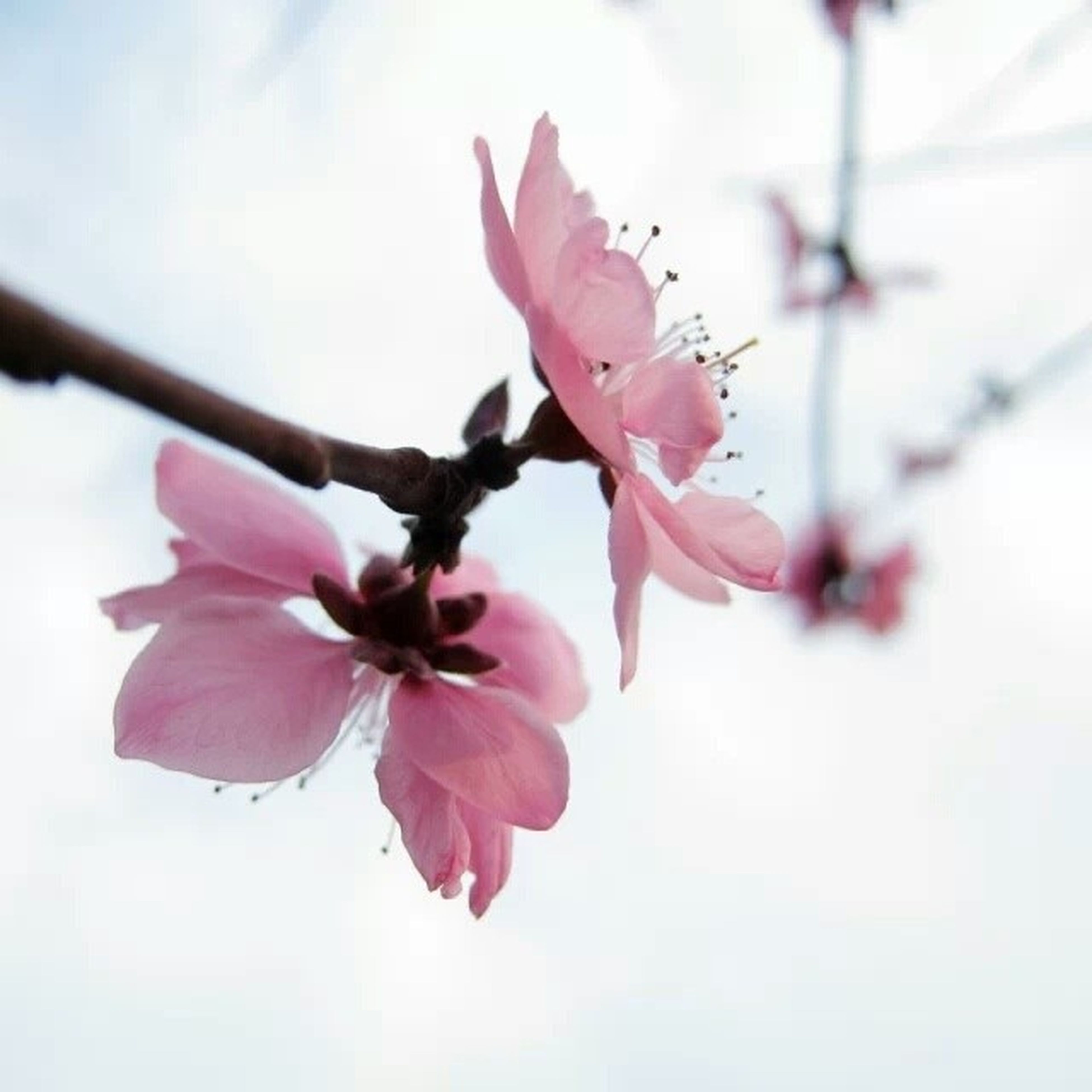 flower, freshness, fragility, petal, growth, pink color, beauty in nature, flower head, close-up, nature, blossom, branch, in bloom, focus on foreground, blooming, stamen, springtime, cherry blossom, twig, season