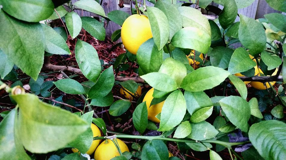 Lemons Lemons Green North Florida Winter North Florida Christmas
