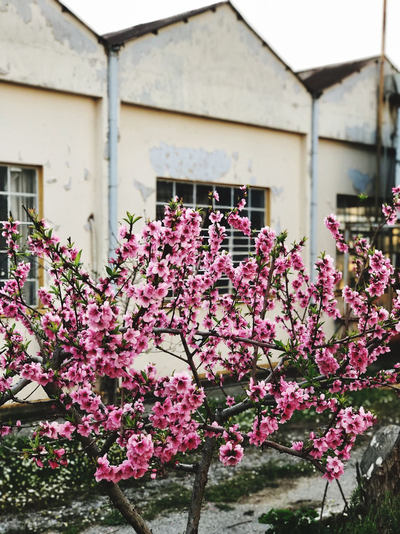 Almond Tree Spring Has Arrived Nature No People Purple