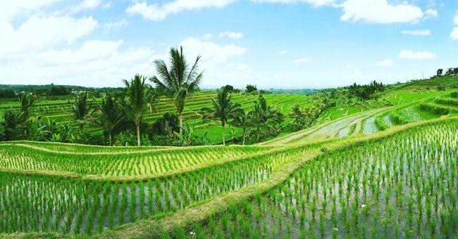 Rice Terrace 📍🇮🇩☀️ Rice Terraces Bali, Indonesia Ubud Wild