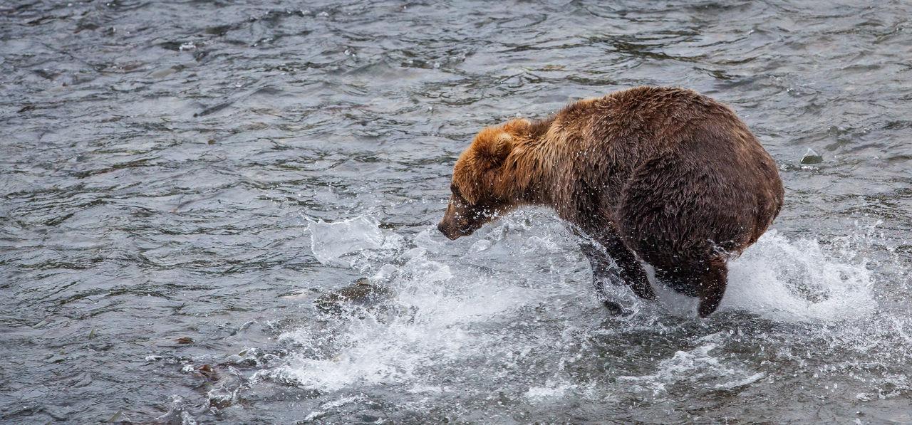An Alaskan brown bear (Ursus arctos) run to catch salmons near Brook falls, Katmai National Park, AK Alaska Animal Themes Animal Wildlife Animals In The Wild Brown Day Grizzly Bear Katmai National Park King Salmon Mammal National Park Nature No People One Animal Outdoors River Water