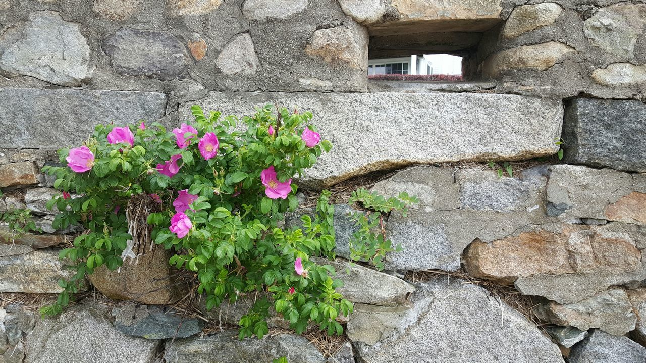 Beach Roses On Wall Natures Diversities Plymouthwaterfront Plymouth, MA USA Nature Finds A Way Textures And Surfaces Flowers, Nature And Beauty EyeEm Gallery Flower Collection Eyeemphotography S6 EyeEm Best Shots - Nature EyeEmBestPics EyeEm The Purist (no Edit, No Filter)