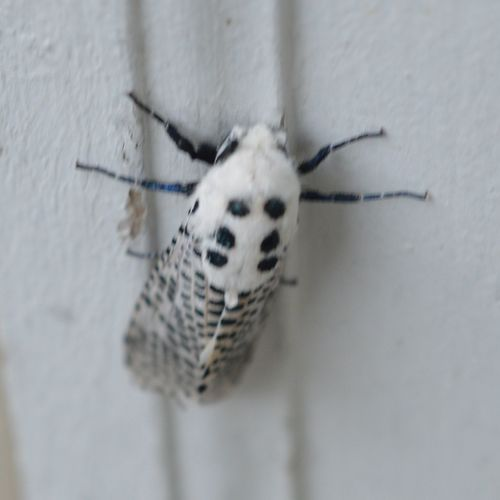 One Animal Animal Themes Insect Close-up Animals In The Wild Animal Wildlife No People Outdoors Giant Leopard Moth