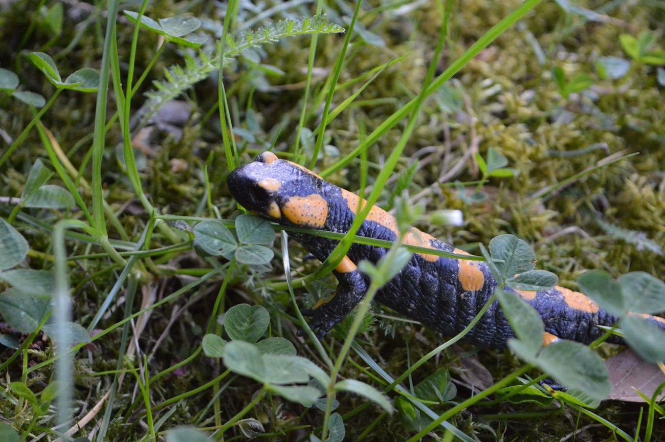 Fire salamander Firesalamander The Great Outdoors - 2016 EyeEm Awards NAT Austria Styria Steiermark Animals Animals In The Wild