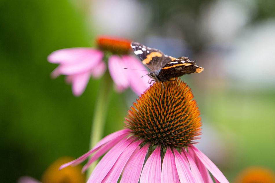 Insect Flower Nature Petal Macro Macro Photography Echinacea Purpurea