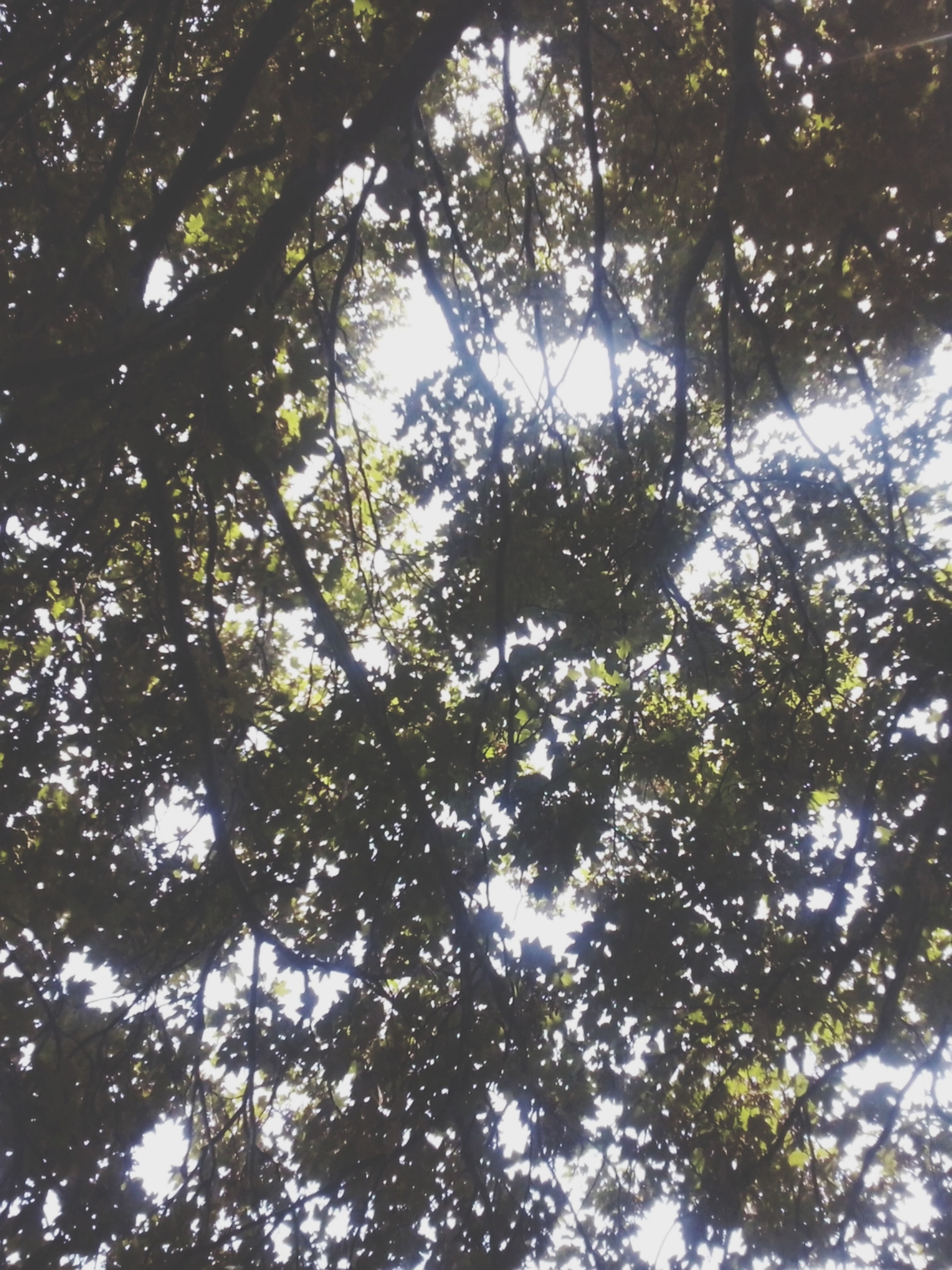 tree, low angle view, branch, growth, nature, tranquility, beauty in nature, sky, sunlight, green color, leaf, forest, directly below, day, backgrounds, outdoors, no people, full frame, scenics, tree trunk