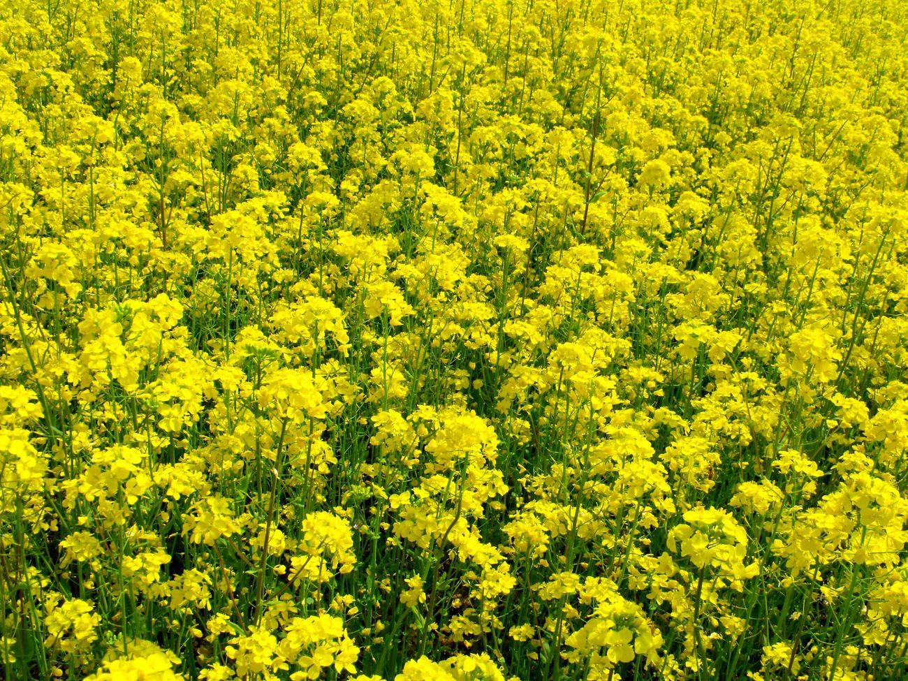 Taking Photos Hello World EyeEm Flower Relaxing Enjoying Life Yellow Flowers Flower Photography Flower Collection Warking♡ Japan Photography 菜の花